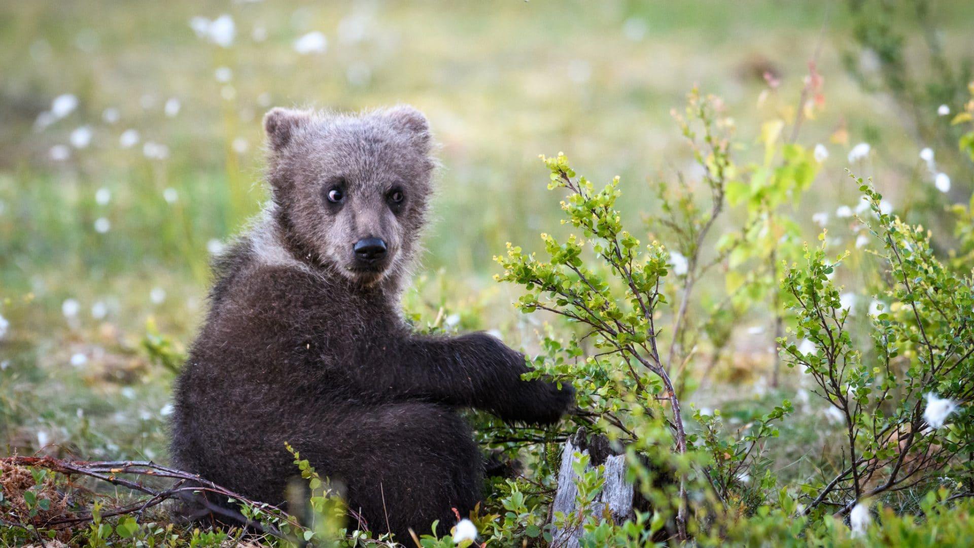 Voimavalokuva Valokuvaaja Leena Aijasaho karhunpentu