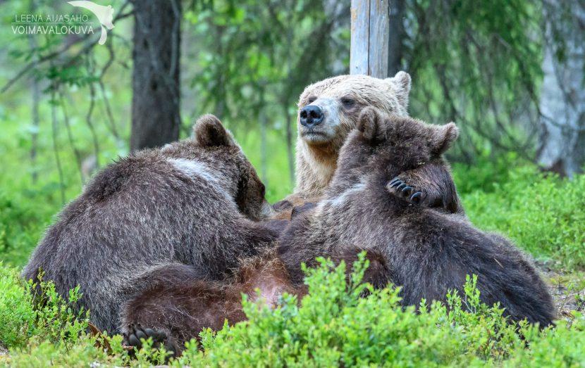 Karhuemo imettää kaksosia